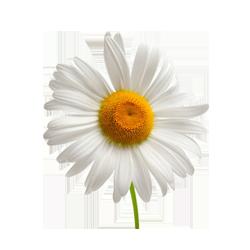 χαμομήλι